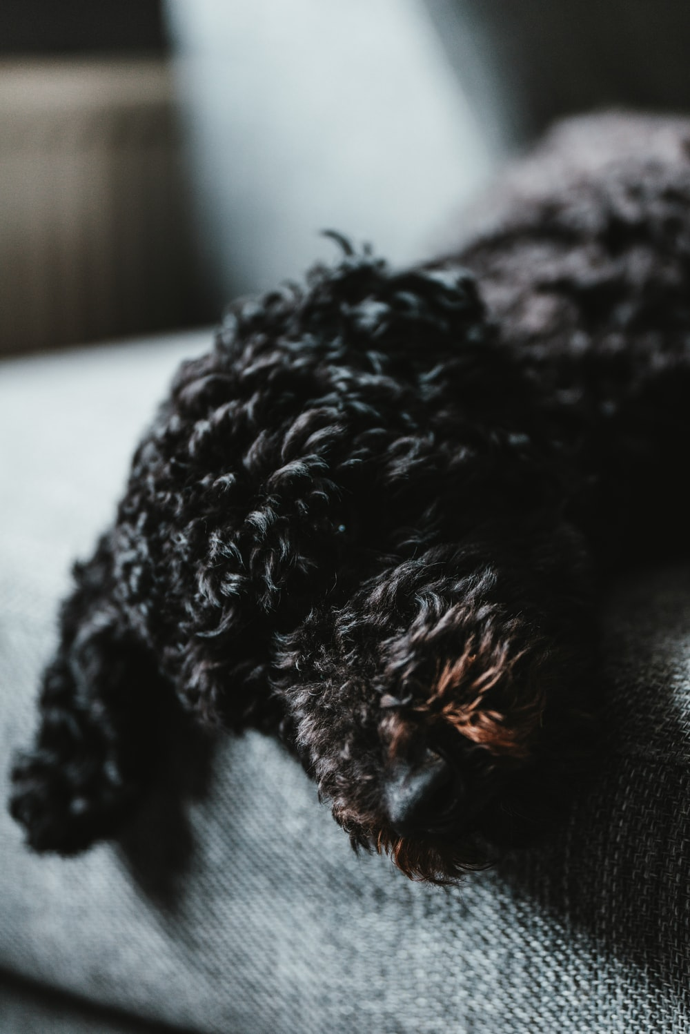 black and gray toy poodle
