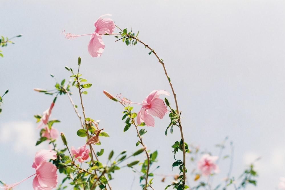pink Hibiscus flowers