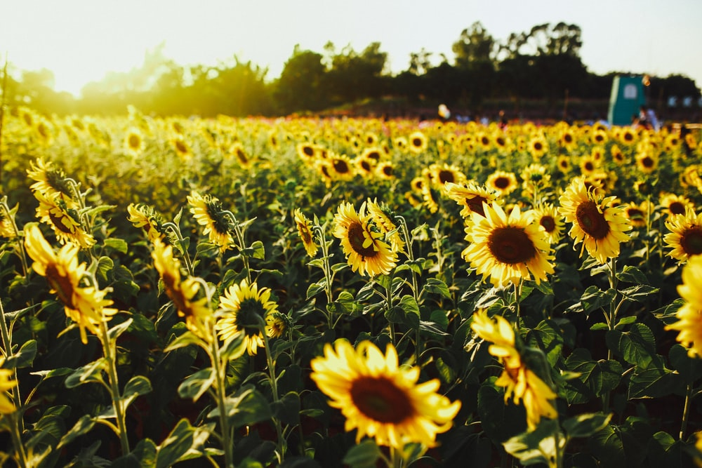 yellow sunflower field during daytime