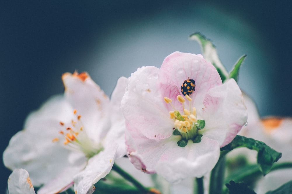black and yellow ladybug on pink and white petaled flower