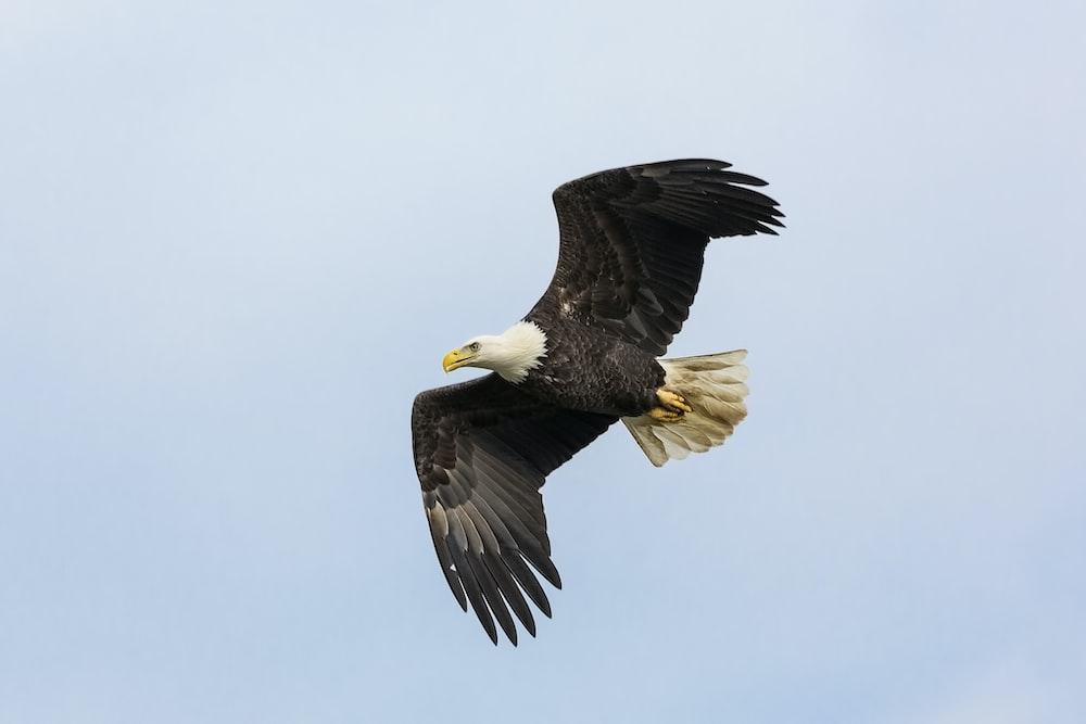 black and white flying bald eagle
