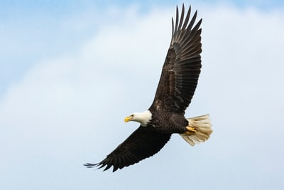 white and brown bald eagle eagle zoom background