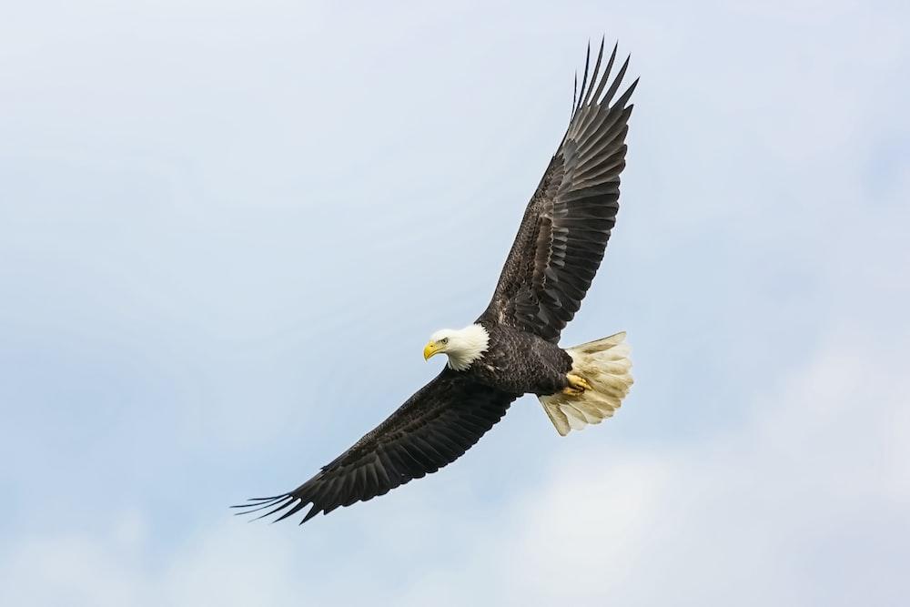 bald eagle flying on skies