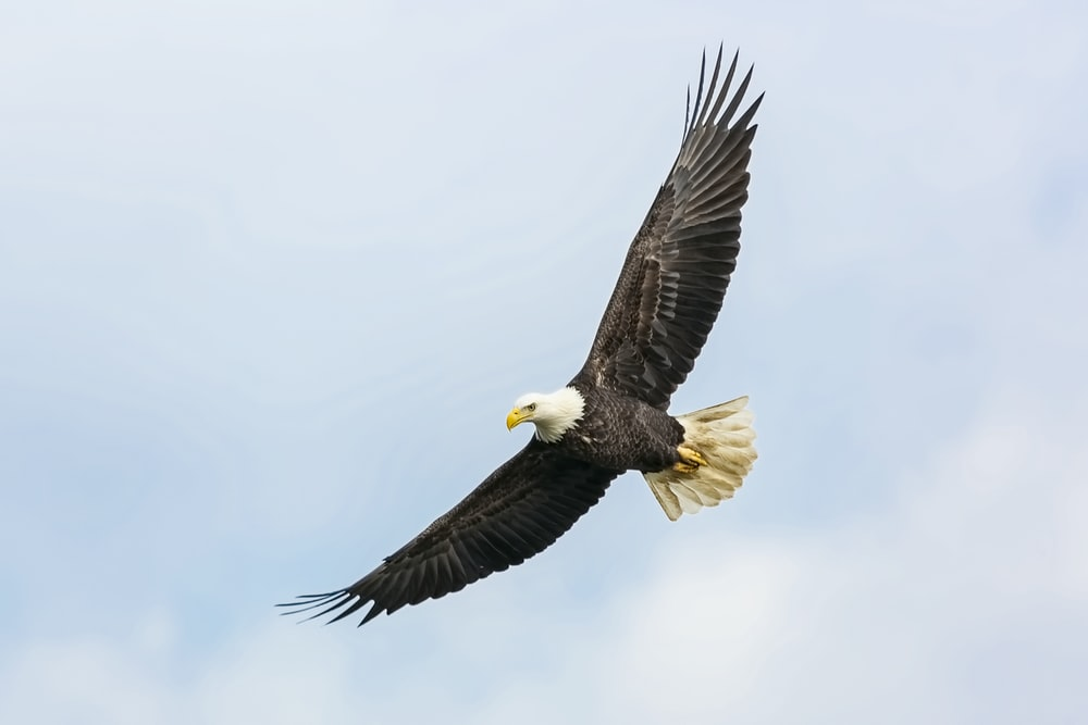 bald eagle flying on skies