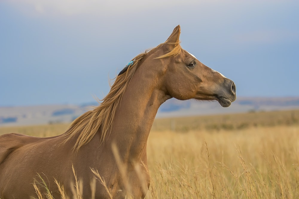 brown horses surrounded by wheat field