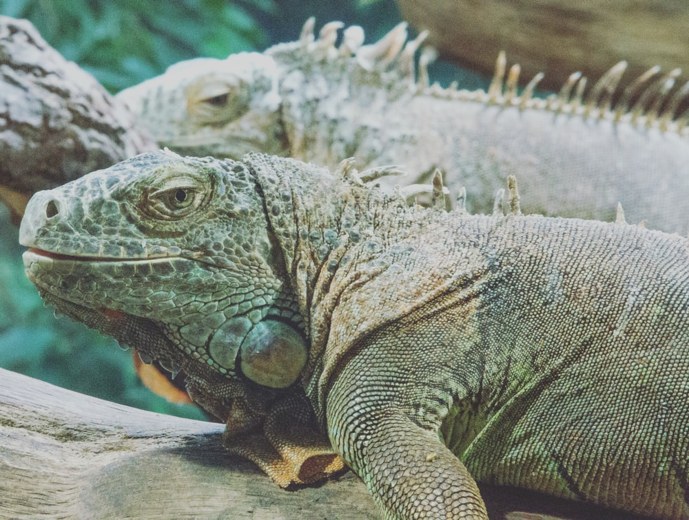 two green iguanas close-up photo