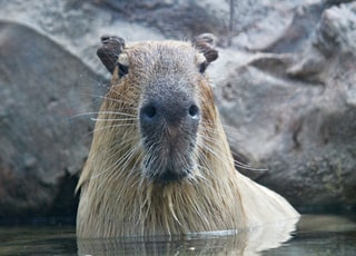 brown rodent in body of water in front of rock