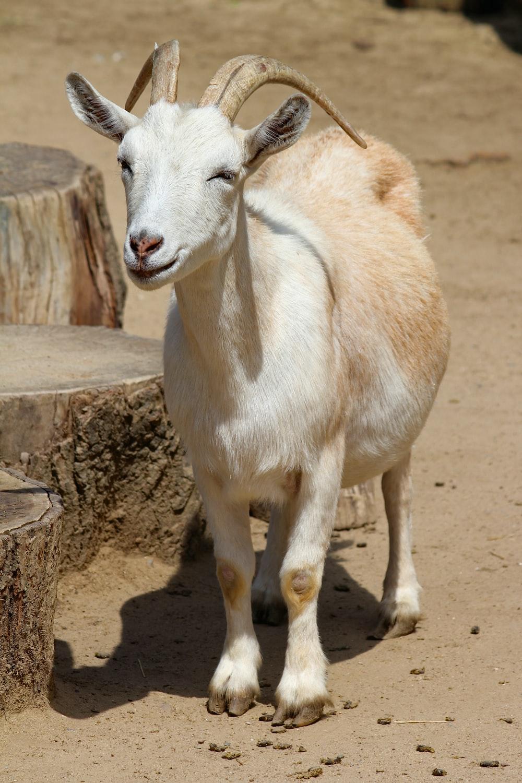 white goat near pavement