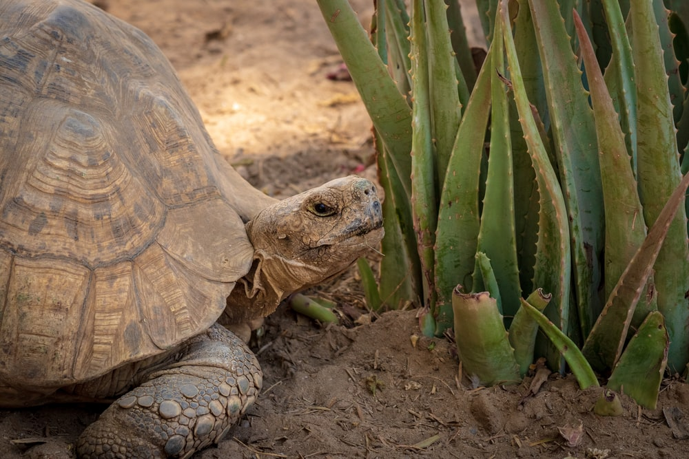 brown tortoise near alove vera plant
