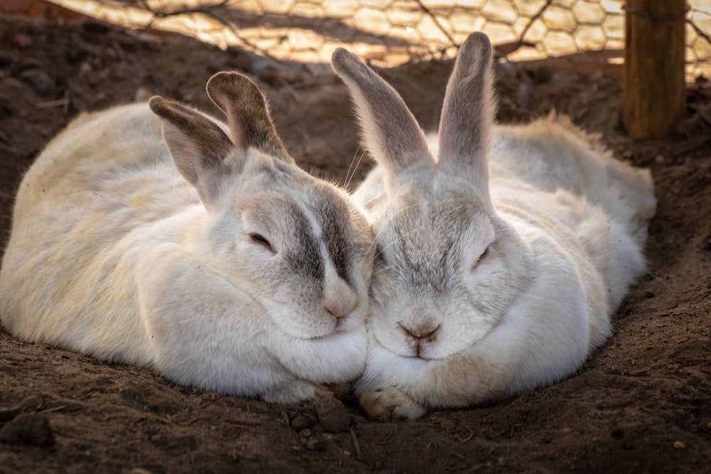 two rabbits lying on ground