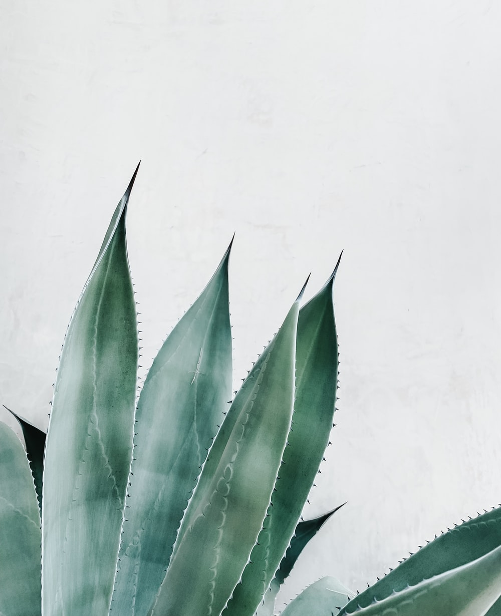 illustration of Aloe vera