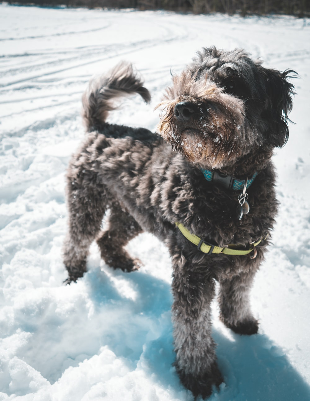 gray dog with collar standing on snow