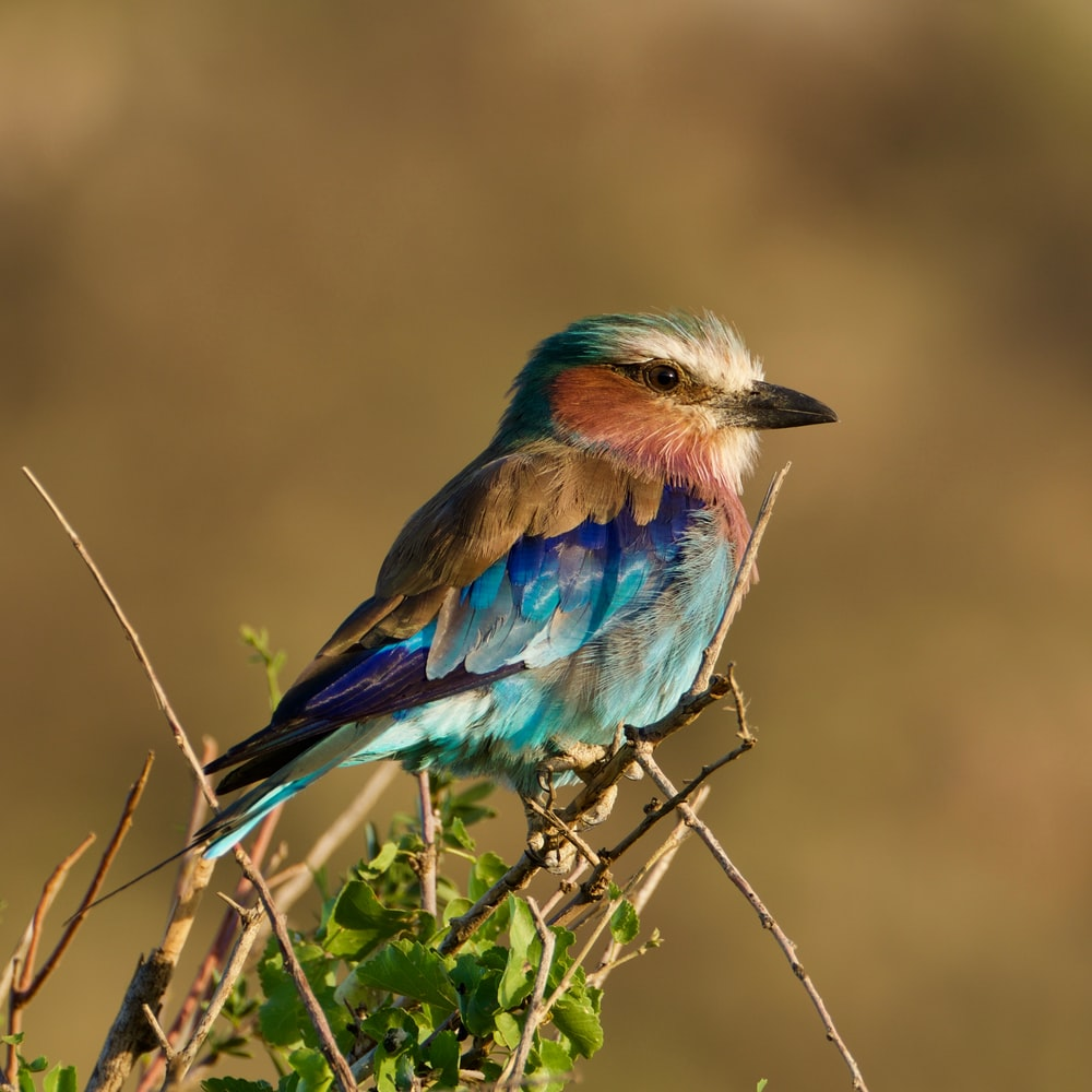 blue and brown bird