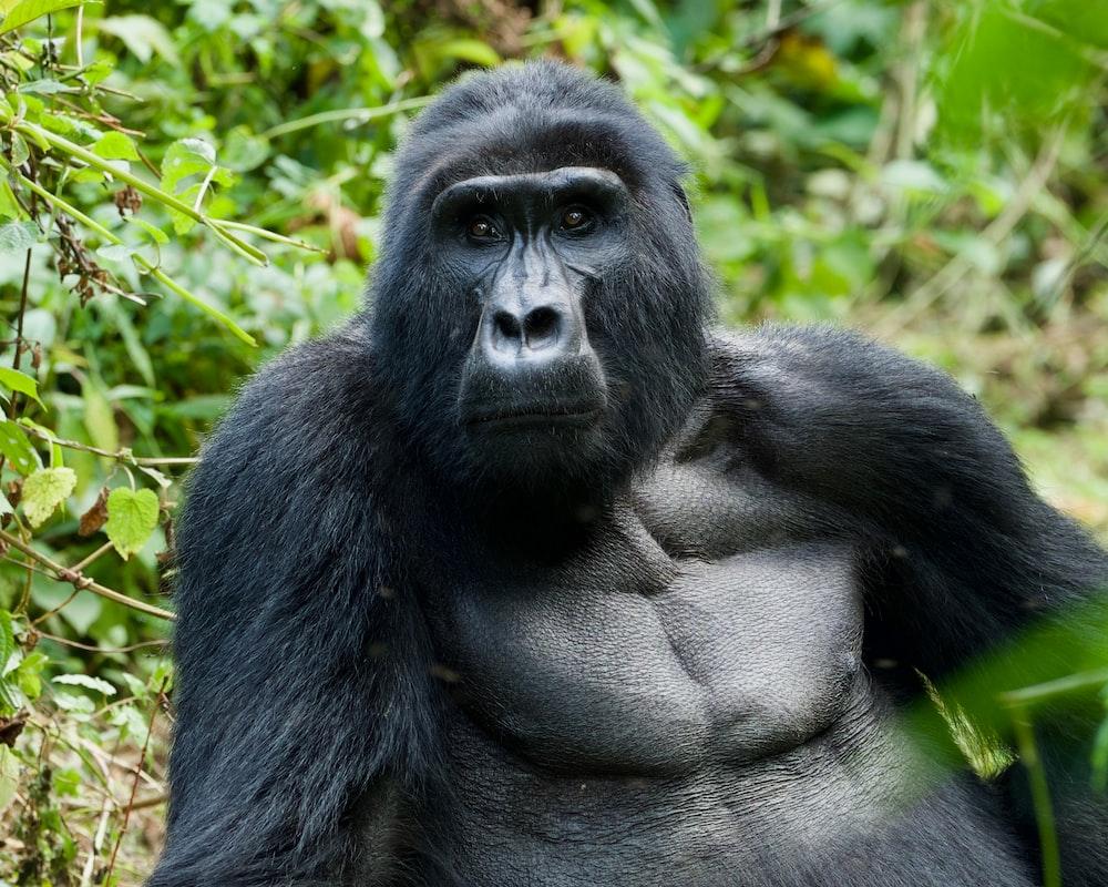 Bikini gorilla picture, free sex spread pictures