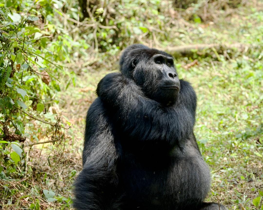 Mountain gorilla in the Bwindi Impenetrable Forest in Uganda.