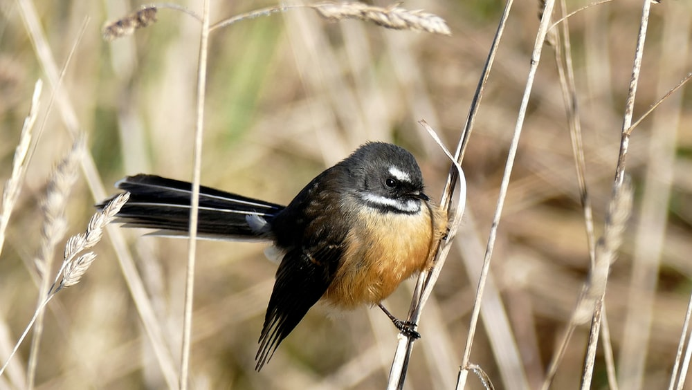 brown and black bird