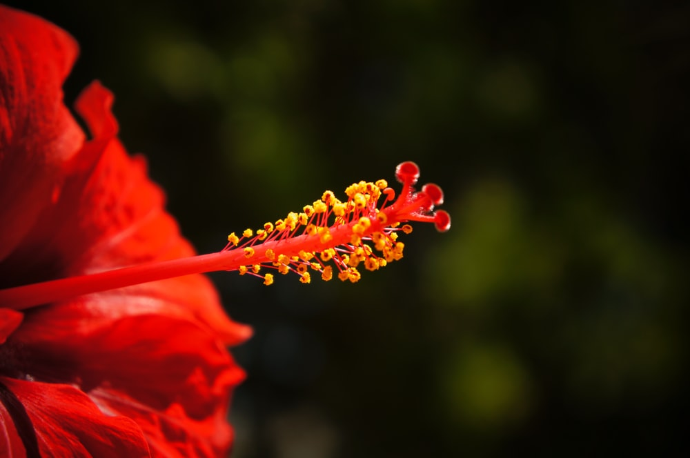 red hibiscus flower in close-up photography