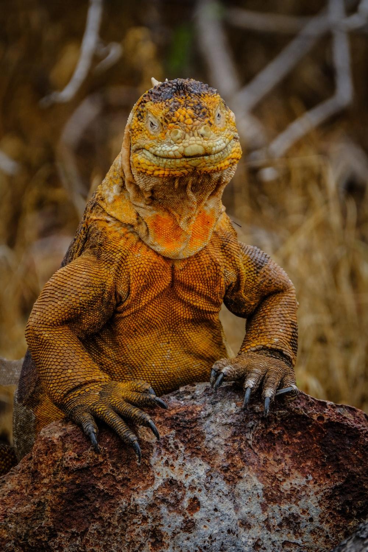 orange lizard on gray rock