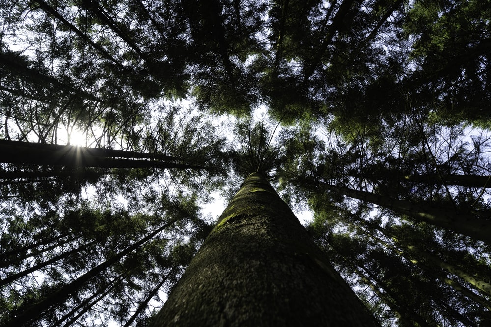 low-angle photography of green tall tree