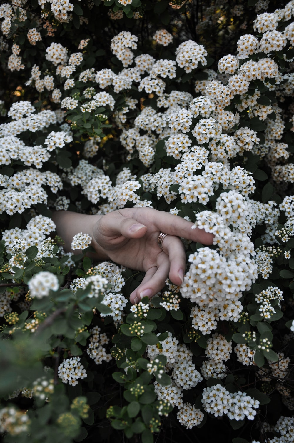 person's hand between white cluster flowers