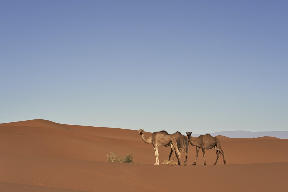 two brown camels illustration