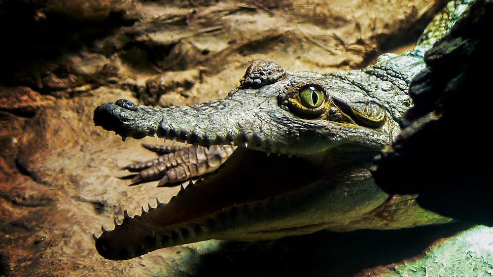 black alligator close-up photography