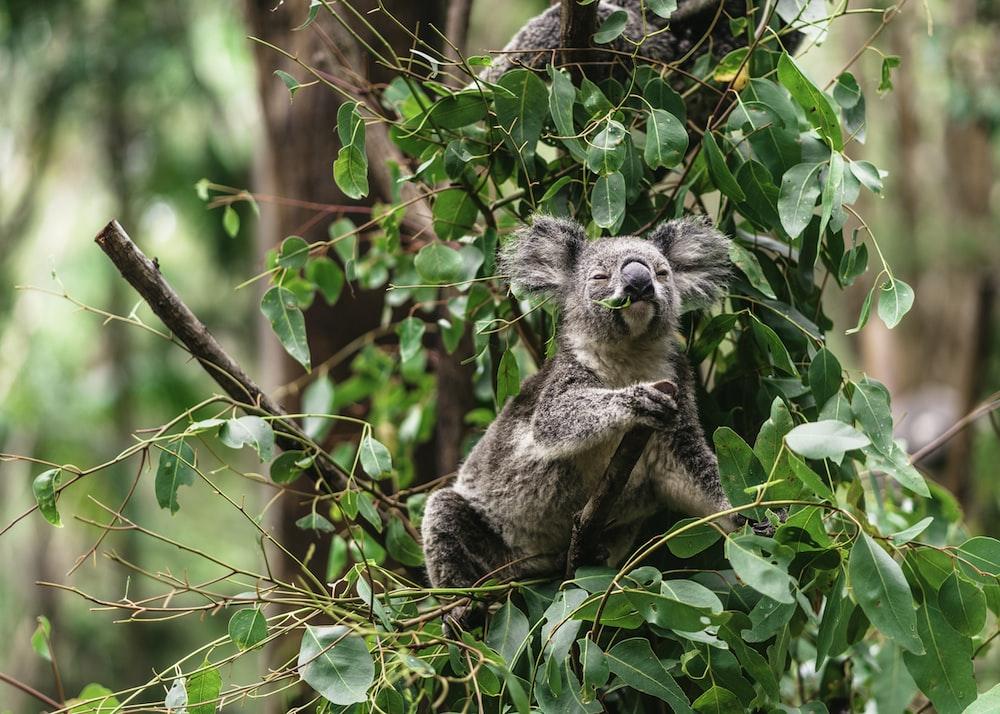 koala bear on branch