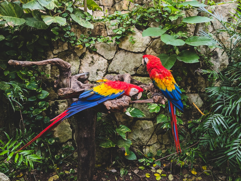 two red-yellow-and-blue parrots on log