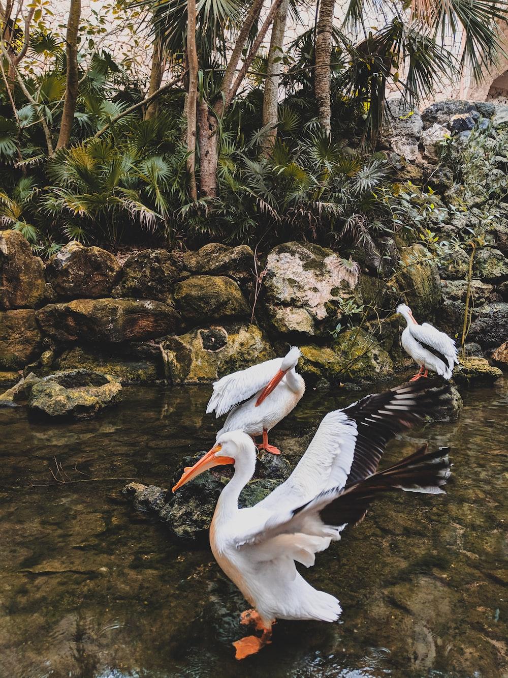 three white ducks on lake