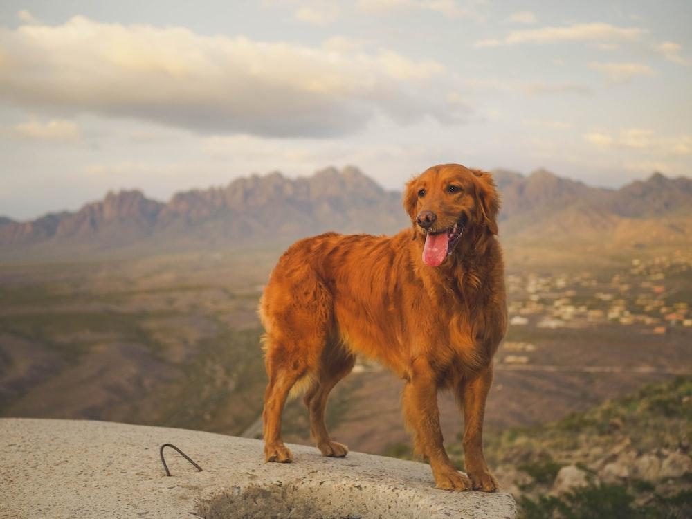 adult short-coated brown dog screenshot