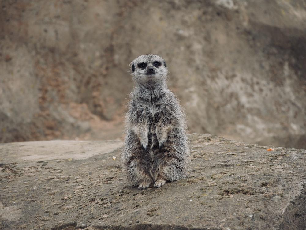 meercat standing on rock