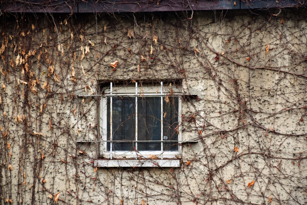 glass window with withered vine plant on wall