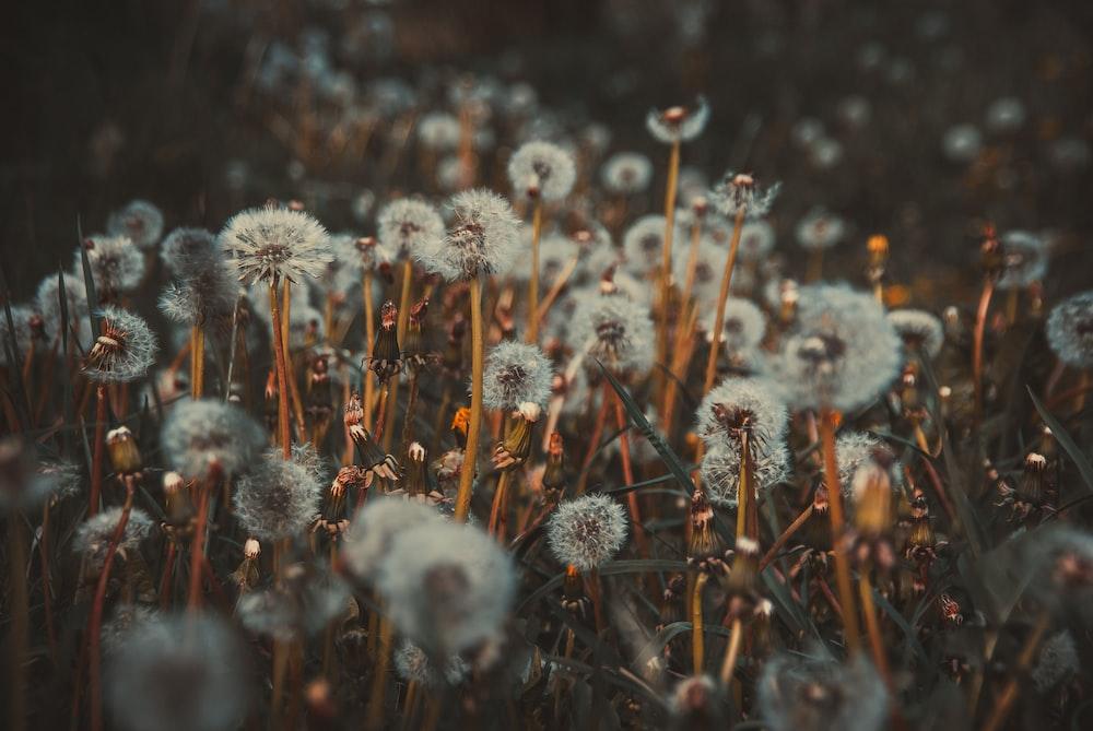 bed of dandelion