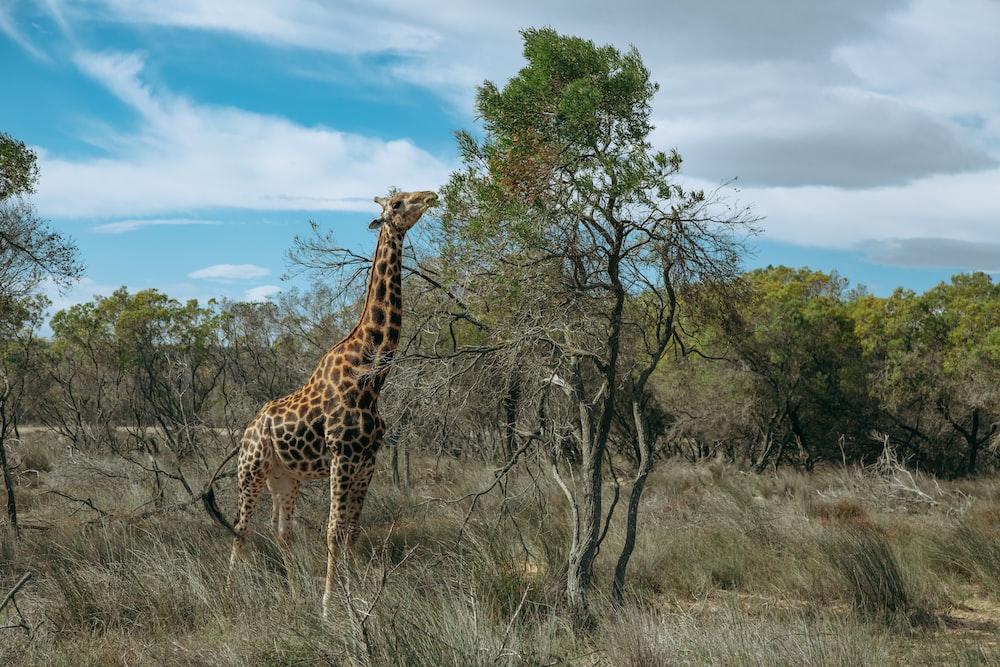 giraffe photography