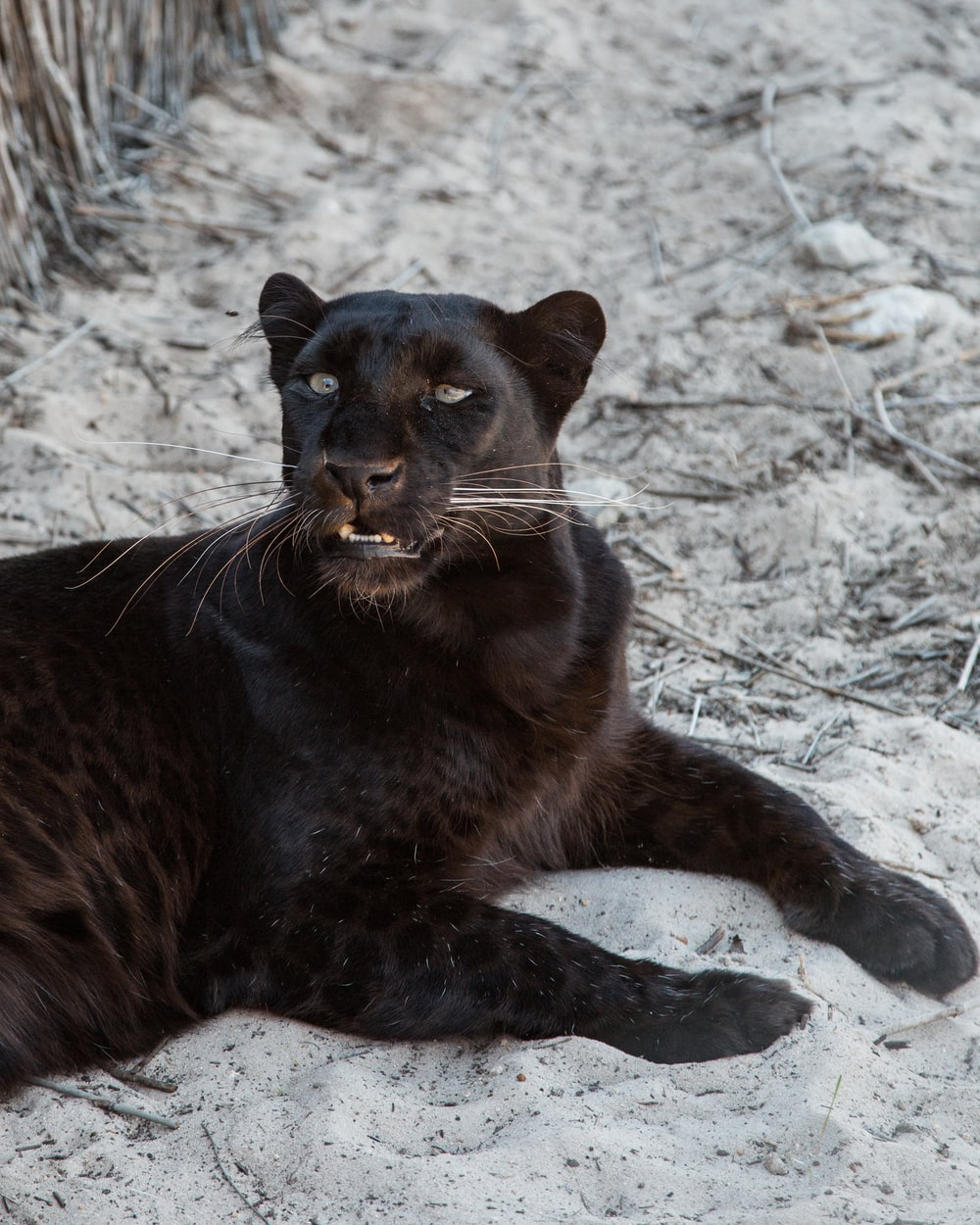 Black Panthers Panthers And Black On Pinterest: Download Free Images On Unsplash