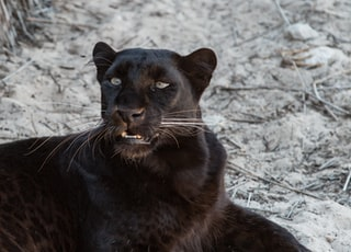 black jaguar resting on sand