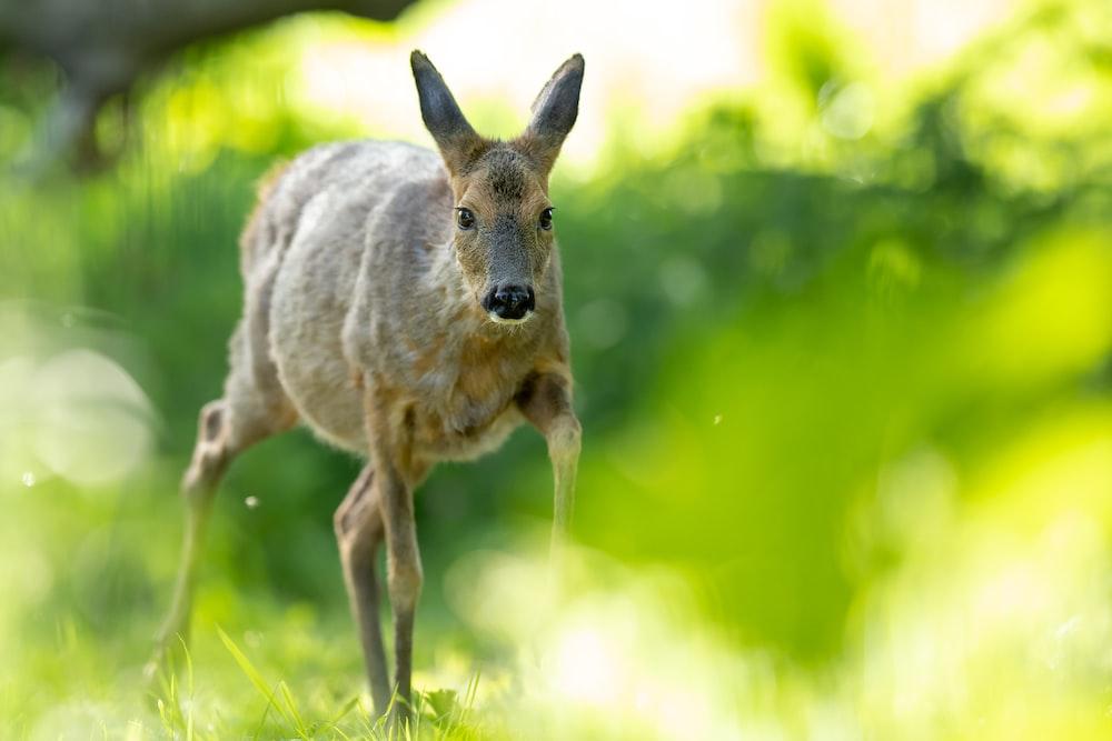 roe deer on grassy field