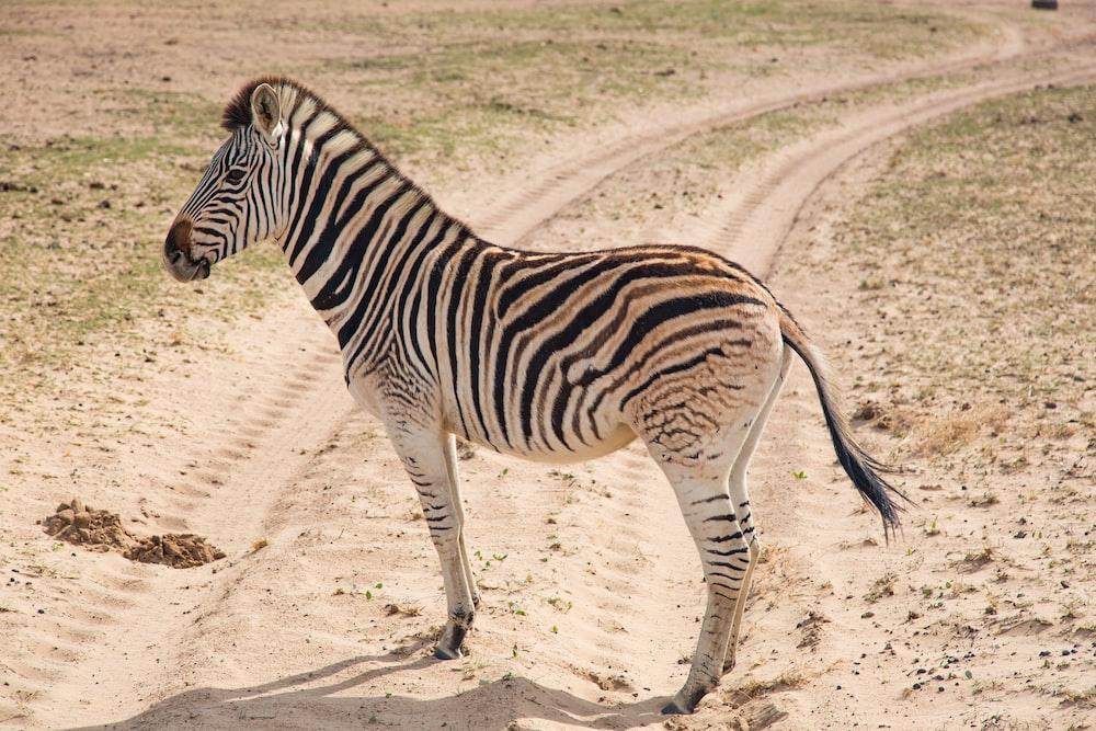 zebra standing on road during daytime
