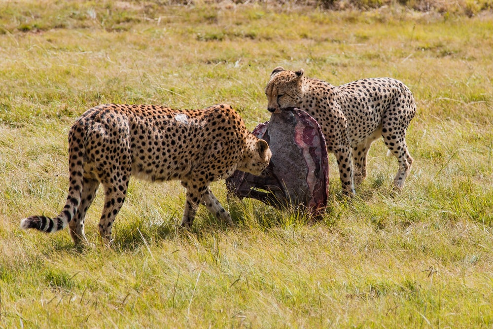 two cheetah eating meat