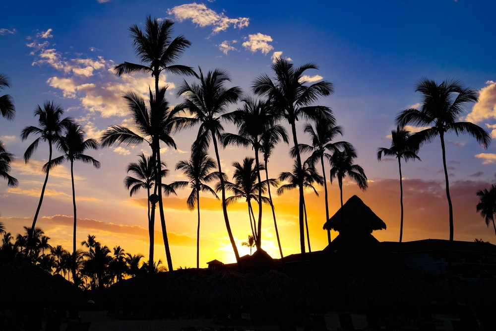 silhouette photography coconut palm trees