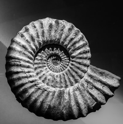 grey shell fossil