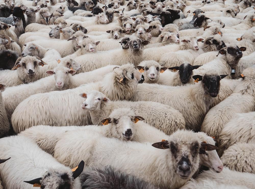 herd of white sheeps