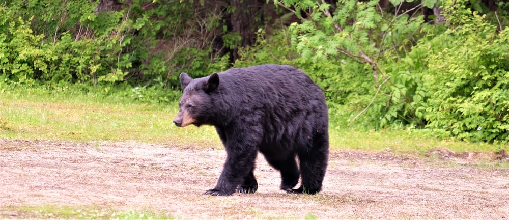 black bear on soil ground near trees