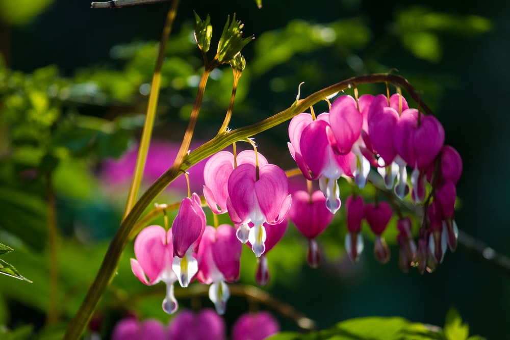 pink-and-white petaled flower