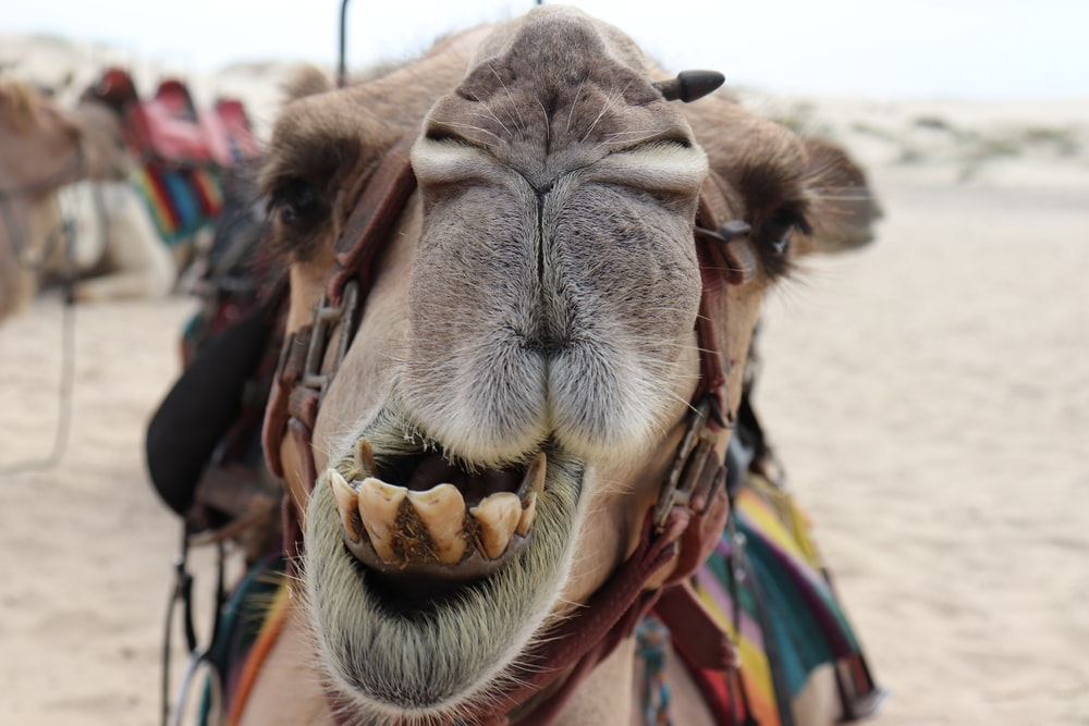 brown camel close-up photography