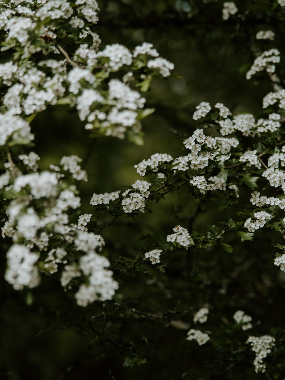 blooming white cluster flowers