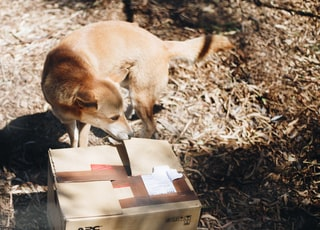 short-coated brown dog beside brown box