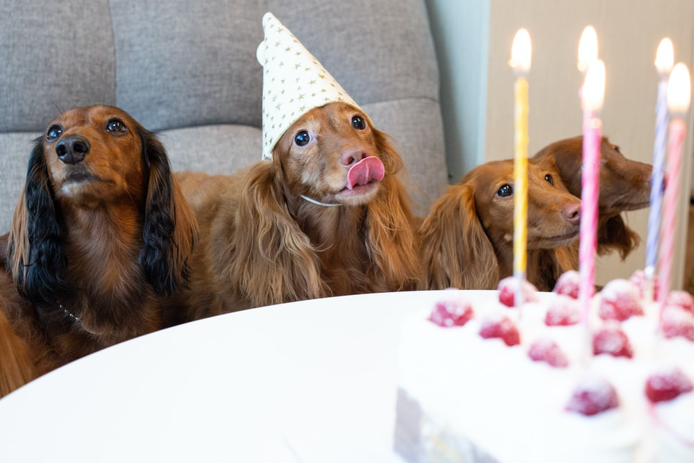 four long-coated brown dogs near white table with one layer cake on top