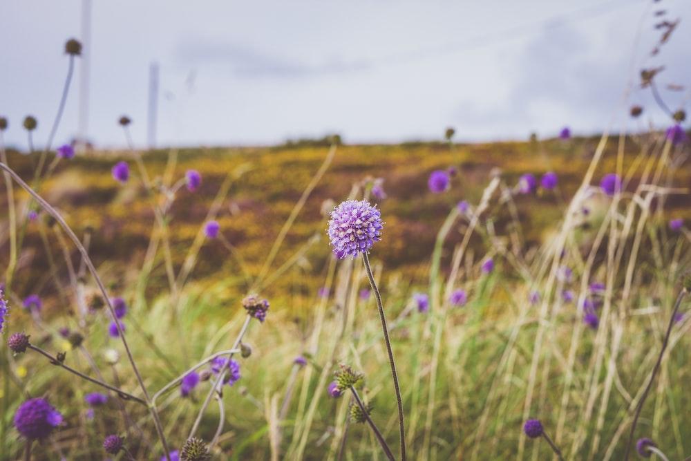 purple wild flowers blooming in the field