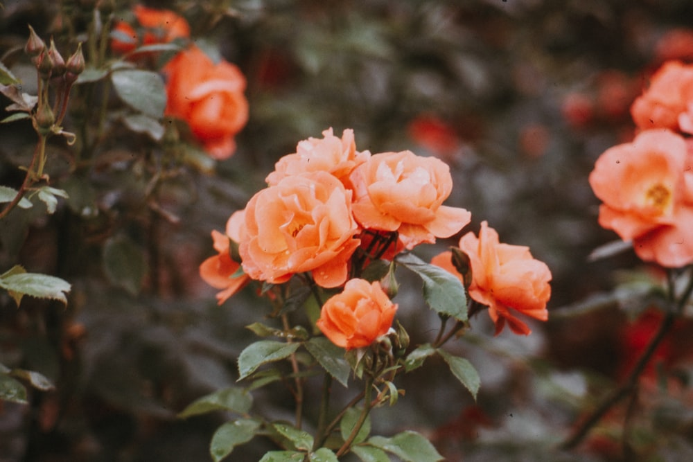 selective focus photography of orange rose flowers in bloom during daytime